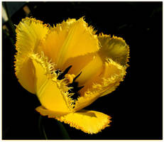 Yellow Tulip Blossoming by JocelyneR