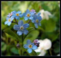 Forget-me-not, Kay! by JocelyneR