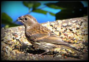 Purple Finch, a Female by JocelyneR