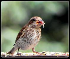 Purple Finch, a Juvenile by JocelyneR