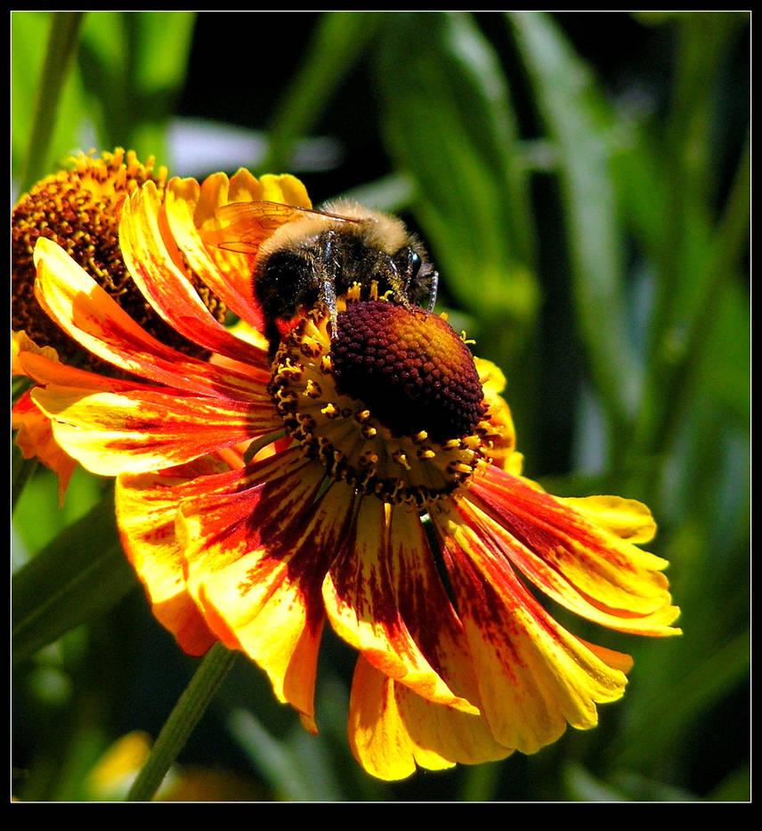 Bee On A Blanket Flower by JocelyneR