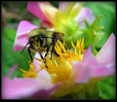 Bee On The Dahlia - Macro by JocelyneR