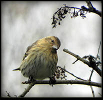 Lovely Pine Siskin by JocelyneR
