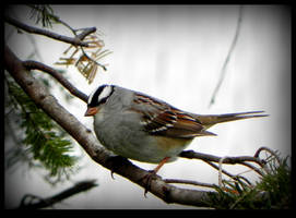 White-crowned Sparrow by JocelyneR
