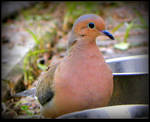 Mourning Dove Lonely by JocelyneR