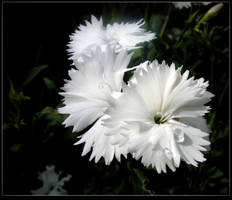 Wet Dianthus by JocelyneR