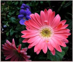 Pink Gerberas by JocelyneR