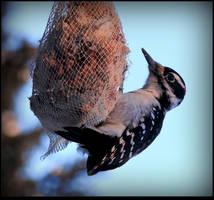 Downy Woodpecker - a male by JocelyneR