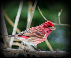 Purple Finch at Easter by JocelyneR