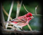 Purple Finch at Easter by JocelyneR