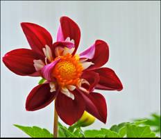 Lovely Dahlia by JocelyneR