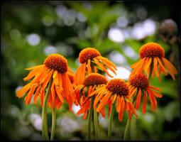 These Orange Flowers... by JocelyneR