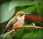 Female Hummingbird by JocelyneR