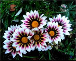 Bouquet of Sunny Gazanias by JocelyneR