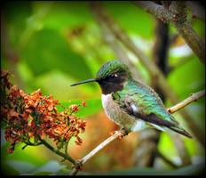 Male Hummingbird by JocelyneR