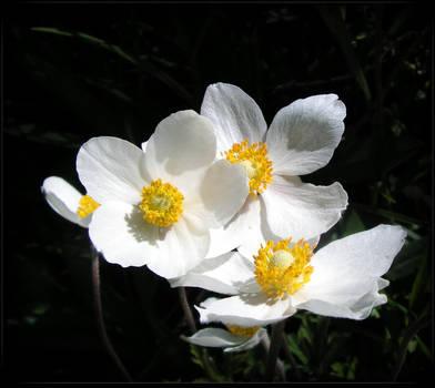 Spring Anemones by JocelyneR