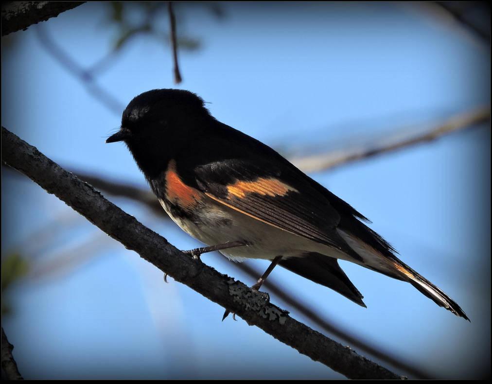 American Redstart by JocelyneR