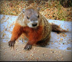 Juvenile Groundhog by JocelyneR