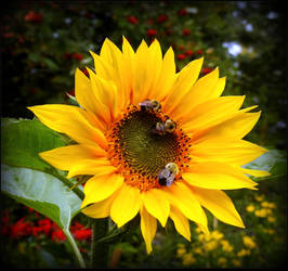 Greedy Bees On The Sunflower by JocelyneR