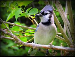 Worried Blue Jay by JocelyneR