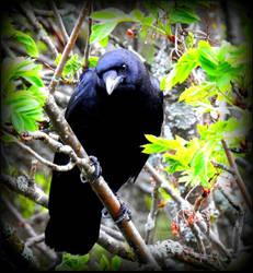 The Raven by JocelyneR