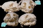 Bobcat skull stock by Lord-FurFur