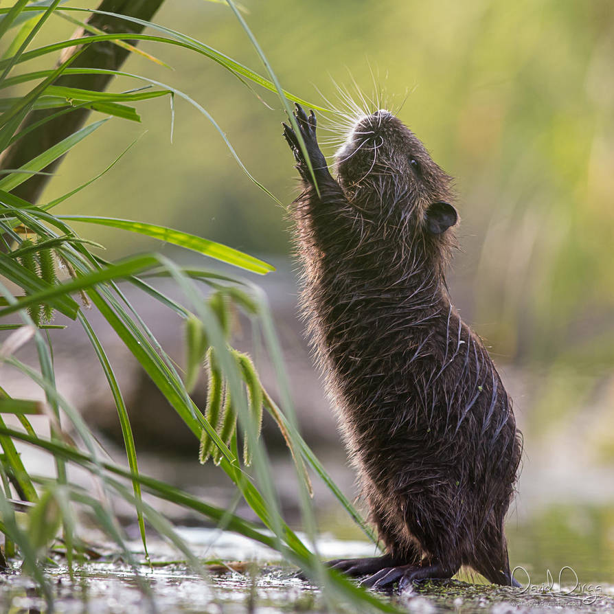 Nutria researcher by Wolfling01