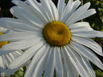 Arctic Flower by Maxojir