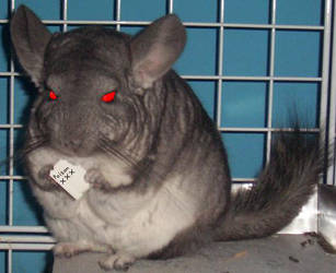 evil chinchilla by screamingartist