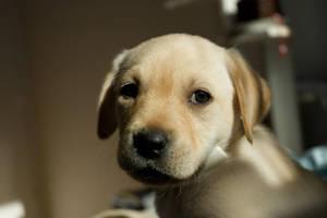 Labrador 1 by taipei101
