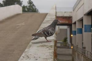 Pigeon by Jules171