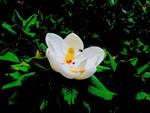 Grandiflora by marshwood