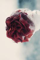 frozen rose by BlueColoursOfNature