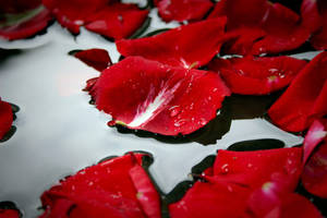 Rose Petals in Water by Halle-Dean