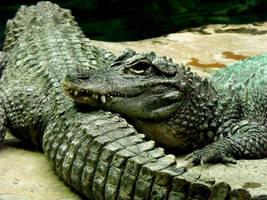 Chinese Alligators by Innocentium