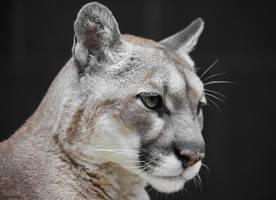 Cougar Portrait by Innocentium