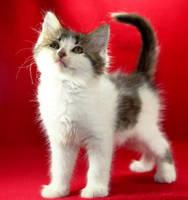 Appa the Kitten by Innocentium