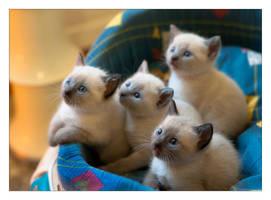 Kittens by LordRimoah