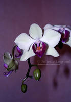 .: Orchid :. by Doodoox