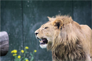African Lion 02 by Mayini