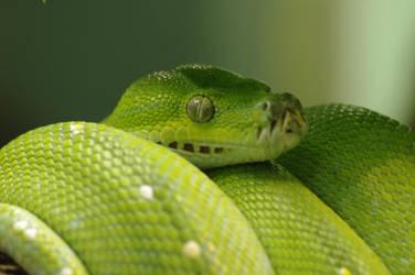 Green Tree Python by yoricktlm