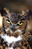Great Horned Owl 2 by yoricktlm