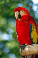 Scarlet Macaw by yoricktlm