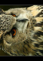 Great Horned Owl by cedrus