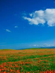 Poppies by wonderfish