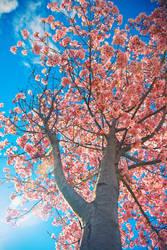 Sakura, Return To Me Please by wonderfish