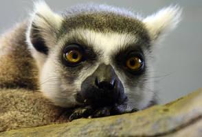 posing lemur by krystledawn