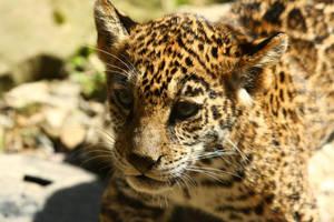 freshly bathed baby jaguar by krystledawn