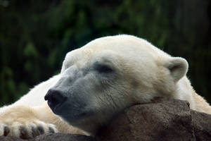 Polar Nap by krystledawn