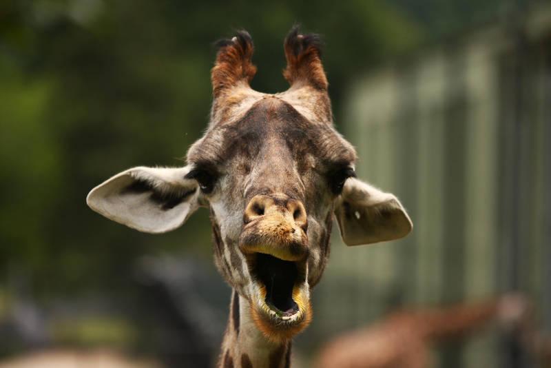 Surprise - emotional Giraffe 2 by krystledawn
